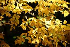 Abedul dulce de las hojas de otoño Imagen de archivo