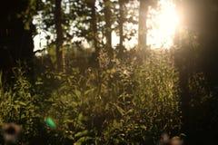 Abedul e hierba en campo de la puesta del sol Imagen de archivo libre de regalías
