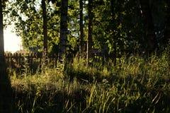 Abedul e hierba en campo de la puesta del sol Fotografía de archivo