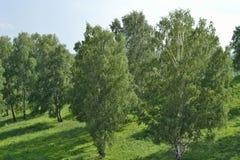 Abedul e hierba verde Imágenes de archivo libres de regalías