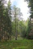 Abedul en bosque Imagen de archivo libre de regalías