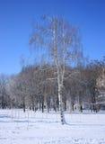 Abedul en bosque del invierno Imágenes de archivo libres de regalías