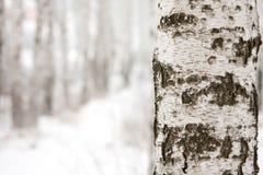 Abedul en bosque del invierno Fotos de archivo libres de regalías