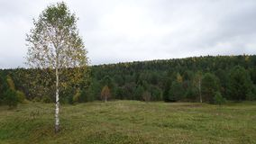 abedul en bosque del otoño Foto de archivo libre de regalías