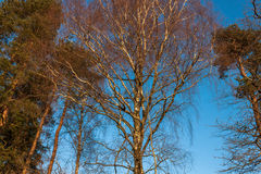 abedul en bosque del otoño Imágenes de archivo libres de regalías