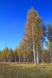 Abedul en campo del otoño Foto de archivo libre de regalías