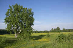 Abedul en campo del verano Fotos de archivo