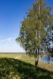 Abedul en el banco del río en verano Foto de archivo libre de regalías