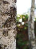 Abedul en el bosque Fotos de archivo libres de regalías