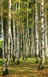 Abedul en el bosque del otoño Foto de archivo libre de regalías