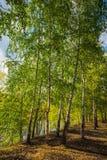 Abedul en el bosque del otoño Fotografía de archivo