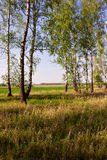 Abedul en el campo Foto de archivo libre de regalías