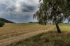 Abedul en el campo cosechado debajo de las nubes oscuras Foto de archivo libre de regalías