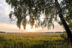Abedul en el campo en un fondo del sol poniente Imagen de archivo libre de regalías
