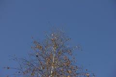 Abedul en el cielo Foto de archivo