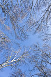 Abedul en el cielo azul profundo Fotografía de archivo