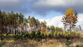 Abedul en el fondo de prados y del bosque del pino Fotos de archivo