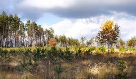 Abedul en el fondo de prados y del bosque del pino Imagenes de archivo