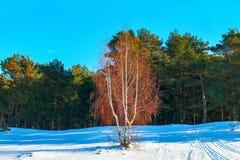 Abedul en el fondo de un bosque del pino del invierno Foto de archivo libre de regalías