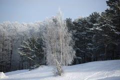 Abedul en el fondo de un bosque del pino del invierno Imagenes de archivo