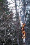 Abedul en el fuego después después de un relámpago Fotos de archivo