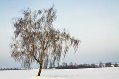 Abedul en el invierno Fotografía de archivo