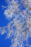 Abedul en el invierno Fotos de archivo