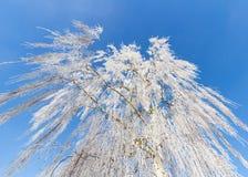 Abedul en el invierno foto de archivo libre de regalías
