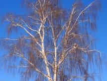 Abedul en el invierno contra la perspectiva del cielo azul Imagen de archivo libre de regalías