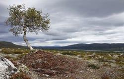 Abedul en el Kungsleden meridional Imagen de archivo libre de regalías
