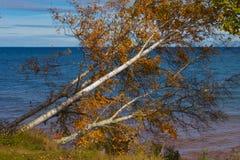 Abedul en el lago Superior Fotografía de archivo