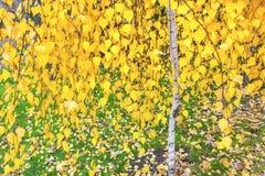 Abedul en el otoño Imagenes de archivo