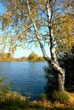 Abedul en el otoño Fotografía de archivo