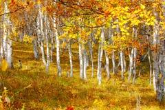 Abedul en el otoño Imagen de archivo libre de regalías