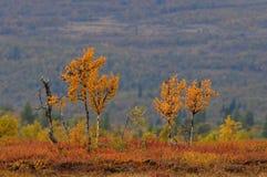 Abedul en el paisaje del otoño, dovrefjell, Noruega Fotografía de archivo