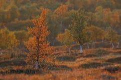 Abedul en el paisaje del otoño, flatruet, Suecia Fotos de archivo libres de regalías