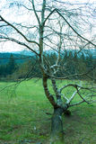 Abedul en el prado Imagenes de archivo