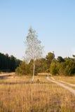 Abedul en el prado en el bosque Foto de archivo libre de regalías