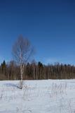 Abedul en el prado nevoso Imagen de archivo libre de regalías
