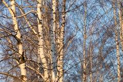 Abedul en el sol de la salida del sol Fotos de archivo