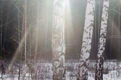 Abedul en el sol de la salida del sol Imagen de archivo