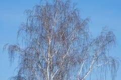 Abedul en fondo del cielo azul Imagenes de archivo