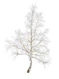 Abedul en helada de la nieve Imágenes de archivo libres de regalías