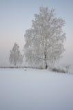 Abedul en helada en un claro nevoso Fotografía de archivo libre de regalías