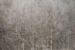 Abedul en helada y nieve el día soleado Fotos de archivo