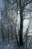 Abedul en invierno Foto de archivo