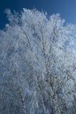 Abedul en invierno Imagenes de archivo