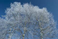 Abedul en invierno Fotos de archivo libres de regalías