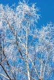 Abedul en invierno Imagen de archivo libre de regalías