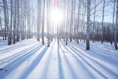 Abedul en invierno Foto de archivo libre de regalías